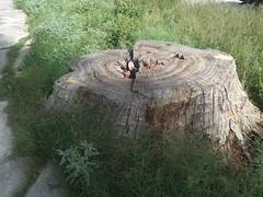 Lo que queda de un coloso..... (roblestjorge) Tags: mxico arbol tala aguascalientes taladearboles viejoarbol muertedeunarbol colheroes depredasin
