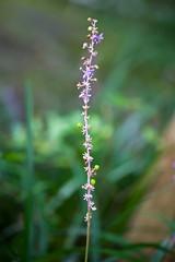 DSC_3290b (aeschylus18917) Tags: flower macro nature japan nikon g micro  nikkor  gifu f28 vr 105mm 105mmf28 gifuken  gifushi 105mmf28gvrmicro gifuprefecture d700 nikkor105mmf28gvrmicro  nikond700  danielruyle aeschylus18917 danruyle druyle