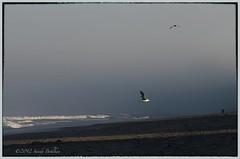 Flying into the light (sandyb49) Tags: morninglight seagull oregoncoast lincolncity bluemonday mondayblues nikond7000 snapseed