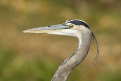 GREAT BLUE HERON (nsxbirder) Tags: ohio greatblueheron ardeaherodias caesarcreekstatepark harveysburg