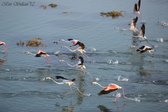Greater Flamingos   -  () Tags: birds flamingos bin greater sultan qatar phoenicopterus roseus         qatarbirds  binsultan lesnafi