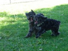 Mia & kia (Dark YorkiPoos) Tags: black cute yorkie dark mix small adorable fluffy poodle mia shaggy hybrid yorki scruffy yorkiepoo hypoallergenic mixbreed