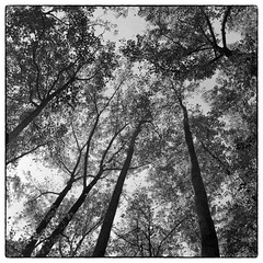 Tall Trees - Cabin John Park, MD (gastwa) Tags: camera bw white black tree 120 6x6 film nature analog forest mediumformat square landscape dc washington focus scenery fuji maryland rangefinder andrew 400 pro plus fujifilm hp5 medium format manual bellows ilford fujinon folding foldable 80mm f35 gf670 gastwirth andrewgastwirth