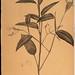 Maranta arundinacea QK495F38R321805V1_0354