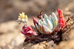 Xenobiology (Californian Dudleya Echeveria Succulent), Big Sur (flatworldsedge) Tags: california sea plant flower canon succulent bigsur cliffs coastal granite withered echeveria dudleya explored 5dmkii yahoo:yourpictures=yourbestphotoof2012 yahoo:yourpictures=inbloom