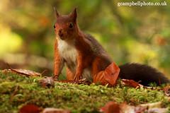 Red Squirrel (Sciurus vulgaris) (gcampbellphoto) Tags: redsquirrel nature portrait wildlife biodiversity bap sap northernireland irishwildlife gcampbellphotocouk canon highqualityanimals sciurus vulgaris