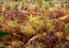 Autumn colours... (SteveJM2009) Tags: uk autumn light leaves october colours seasonal hampshire bracken ferns newforest autumnal fronds mixture 2012 stevemaskell bolderwood hants