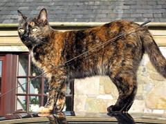Jeeves and the i10 (Verna Jarrett) Tags: autumn cats car cat kat chat tortoiseshell gato katze tortie macska gatto kot kedi katt kissa jeeves pisica g10 hyundaii10 littlesandypaw
