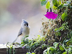 On a Saturday Afternoon (Javcon117*) Tags: blue orange cute bird standing peach pinkflower titmouse sideview javcon117 frostphotos