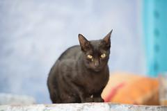 Katten in Chefchaouen (Ron Mooij) Tags: blue cats katten blauw morocco maroc chaouen mammals chefchaouen dieren marokko zoogdieren