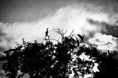 bird island (lynn.h.armstrong) Tags: camera trees sky bw white ontario canada black bird art heron monochrome leaves birds st clouds river lens geotagged island photography photo lawrence aperture nikon long flickr crane branches south wb images lynn h getty cormorant nikkor armstrong stormont sault ingleside twitter tumblr d7000 lynnharmstrong