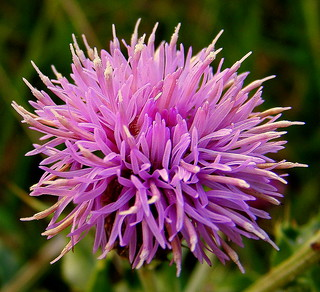 Fuji FinePix S5800-S800.Super Macro.A Meadow Thistle Flower.October 26th 2012.