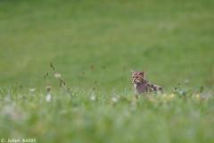 Chat Forestier (~julien~) Tags: france chat 2012 felis sauvage forestier silvestris canonef300mmf4lisusm 5dmarkii julienbarbe