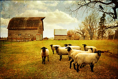 The Guard Sheep (keeva999) Tags: autumn fall texture animals rural nikon sheep farm country rustic barns iowa farmanimals distressedjewell d3100 distressedjewellbirdbrush lenabemanna
