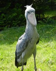 Balaeniceps rex (Merintia) Tags: captive captivity shoebill balaenicepsrex cautividad picozapato walsrode2012