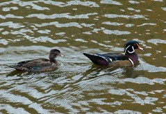 Wood Ducks (praja38) Tags: male bird nature female zoo duck pond wildlife torontozoo woodduck