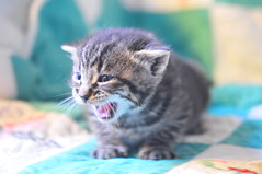 3/11.2012 - i want my mama! (julochka) Tags: kitten meow striper countrylife downonthefarm catperson yowler greatgrandmasquilt postcardtoblogcamp 366the2012edition