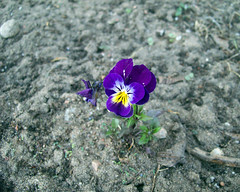 Johnny Jump Up (Fargus64) Tags: life light plant flower nature yellow wisconsin canon garden purple bloom johnnyjumpup thepoormansapothecary