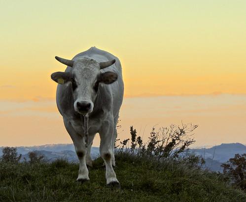 Muuu.... (rospex) parco tramonto mucca animali monti vacca sibillini