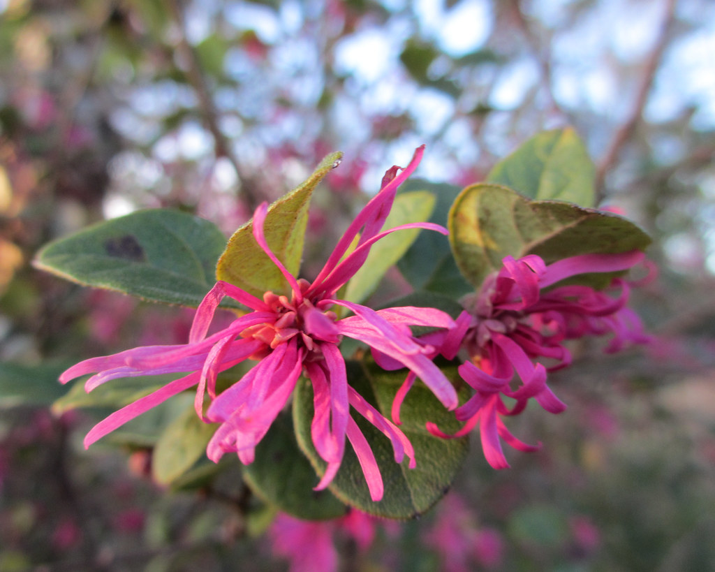 The Worlds Best Photos Of Loropetalum And Pink Flickr Hive Mind