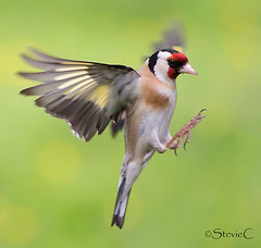 Flight Of The Goldfinch (StevieC - Photography) Tags: uk bird nature horizontal closeup canon outdoors photography scotland inflight movement day branch wildlife goldfinch flight nopeople redhead finch graceful songbird animalsinthewild oneanimal maleanimal animalthemes colourimage focusonforeground steviec wingblur goldfinchinflight