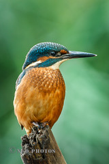 Perching Kingfisher (Nigel Dell) Tags: summer birds flickr wildlife kingfisher ngdphotos