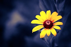 (ms holmes) Tags: blue flower yellow colours gelb editing blau blume rudbeckia processed blackeyedsusan farben sonnenhut bearbeitet canoneos1000d