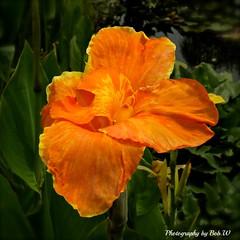 Orange Blossom Special (Bob.W) Tags: orange lily ngc victoria yarrajunction bluelotuswatergarden flowerthequietbeauty besteverdigitalphotography