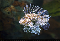 Lionfish - Gatlinburg TN Ripleys Aquarium (Dave Allen Photography) Tags: ocean life sea fish nature animals aquarium nikon tank tn wildlife lion sealife tropical gatlinburg lionfish saltwater venomous d800 gatlinburgtn ripleysaquarium nikond800 mygearandme mygearandmepremium mygearandmebronze