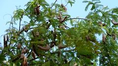 P1030159 (Krole alsacienne) Tags: runion tamarins