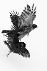 19/365 Live is live /explore *478/ (I.Dostl) Tags: blackandwhite white black bird fly blackwhite fight hawk explore predator blackandwhiteonly