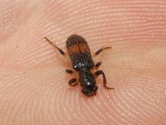 Cleridae>Opilo Banded Clerid beetle DSCF3442 (Bill & Mark Bell) Tags: exmouth westernaustralia australia geo:town=exmouth geo:state=westernaustralia geo:country=australia geo:lon=11425453egeolat2217752sgeoalt8m 11425453e2217752salt8m taxonomy:kingdom=animalia animalia phylumarthropoda arthropoda taxonomy:order=coleoptera coleoptera taxonomy:family=cleridae cleridae taxonomy:genus=opilo opilo taxonomycommonnamebandedcleridbeetle bandedcleridbeetle nationalgeographicwildlife insecta taxonomy:phylum=arthropoda taxonomy:class=insecta insect animal fauna beetle