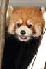 Lesser panda (Red panda) / レッサーパンダ (yanoks48) Tags: animal japan zoo sapporo hokkaido 北海道 日本 動物 札幌 動物園 lesserpanda レッサーパンダ 円山動物園 maruyamazoo