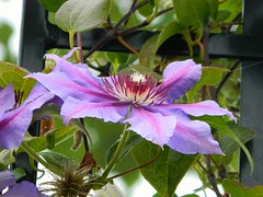 Clematis (careth@2012) Tags: clematis beautifulflowers worldofflowers passionforflowers flowersonflickr diamondnaturestyle passionforflowerslevel3 passionforflowerslevel4 passionforflowerlevel2 passionforflowerslevel5