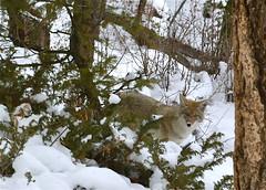 DSC_1141 (harbortrees) Tags: coyote trees snow montana yellowstone
