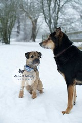 Dogs in the Snow (dbalyoz) Tags: winter friends white snow dogs mutt mix snowy canine borderterrier blackandbrown