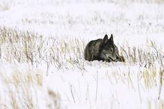 Siberian Husky (Matt Thalman - Valley Man Photography) Tags: winter dog pet snow minnesota siberianhusky bluestemprairie
