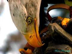 Bird of prey (MARIUS VICTOR) Tags: travel wild sky colour bird nature closeup danger bigbird eyes eagle wildlife beak lanzarote clash prey vulture parc claws birdofprey