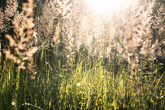 This is summer. (balu51) Tags: morgenspaziergang morgen frh sommertag waldlichtung gras natur gegenlicht sonne sunshine sun backlight 60mm nature grasses green silver forest morning walkmorningearlysummersummer dayjuli2016copyright by balu51