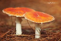 cogumelo3 (angelafarina) Tags: cogumelo fungos macro natureza