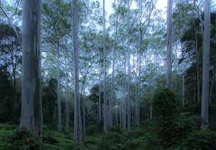 Blue gum forest (Jutta Sund) Tags: gumtree lines trunks leaves bluegum