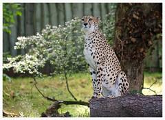 Cheetah (Jeanni) Tags: big cat cheetah spots animal wildlife nature canoneos60d ef100mmf28lmacroisusm smart