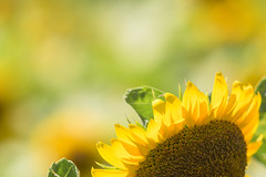another side of you (hitohira_) Tags: flower flowers nature bokeh sunflower
