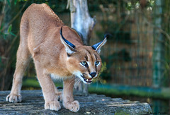 w-Griffin-CARACAL (thirsty_camel) Tags: whf big cats caracal
