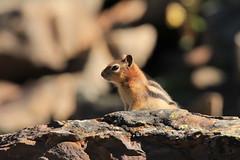 Golden-mantled Ground Squirrel_IMG_7015 (pamfromcalgary) Tags: animals rodent alberta kananaskis pamhawkes nature goldenmantledgroundsquirrel wildlife canonrebelt3i