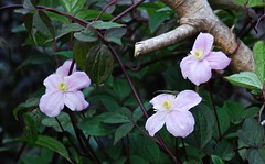 3441 Clematis Montana (Andy panomaniacanonymous) Tags: 20160831 ccc clematismontana clematismontanapictonsvariety fff flowers garden mmm plants ppp