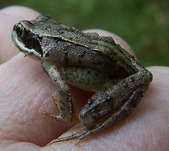 Yearling Frog (ERIK THE CAT Struggling to keep up) Tags: cannockchase staffordshire amphibians frogs