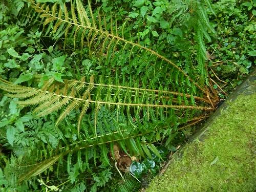 Dryopteris affinis aggr. 20160828_174516