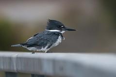 Foggy Kingfisher (martytdx) Tags: august ca sanfrancisco birding birds kingfisher beltedkingfisher megacerylealcyon megaceryle alcedinidae crissyfield crissyfieldlagoon lifelist