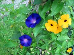 IMG_0167 (ohange2008) Tags: morningglory tubs blackeyedsusan